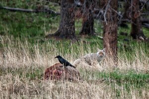 Raven and Coyote in Yellowstone